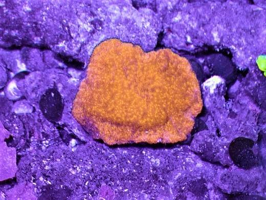 画像1: コモンサンゴ ブリード 約5cm前後 (1)
