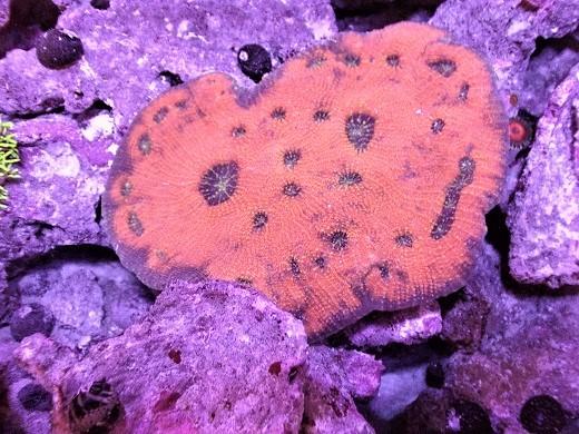 画像1: キッカサンゴ 約9cm前後 (1)