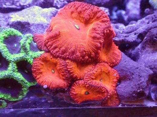 画像1: 美 オオタバサンゴ ラージポリプ 約6.5cm前後 (1)