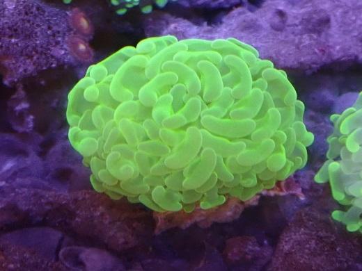 画像1: ナガレハナサンゴ 開くと約5cm前後 (1)
