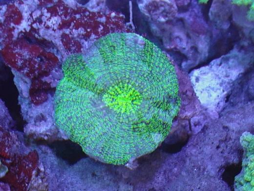 画像1: サンゴ 約6.5cm前後 (1)