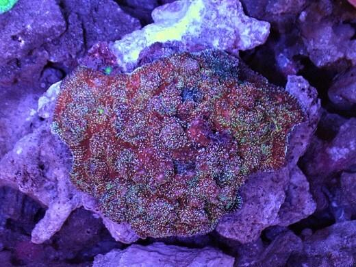画像1: サンゴ 約9cm前後 (1)